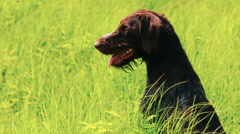 Dog drathaar. Close-up. Hunting dog Stock Footage