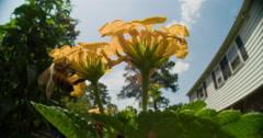 Honey bee foraging on Lantana flowers. Stock Footage
