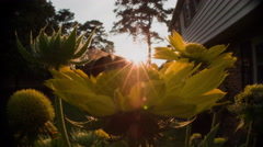 Bumble bee foraging on Gaillardia flowers at sunset. Stock Footage