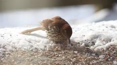 Brown Thrasher Feeding Stock Footage