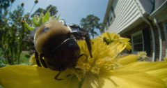 Bumble bee foraging on Gaillardia flowers. Stock Footage
