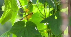 American goldfinch jumping from cucumber vine. Stock Footage