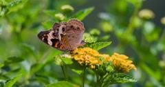 Common buckeye butterfly foraging on lantana flowers. Stock Footage
