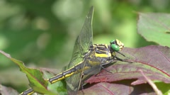 Large yellow Dragonfly on a leaf Stock Footage