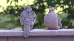 Mourning doves  resting Stock Footage