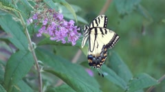 Eastern tiger swallowtail butterfly Stock Footage