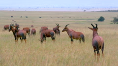 GRAZING TOPI SAVANNAH MAASAI MARA KENYA AFRICA Stock Footage