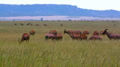 TOPI SAVANAH WILDERNESS MAASAI MARA KENYA AFRICA Stock Footage