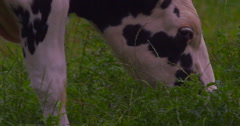 Black and White Freisian dairy cow chewing green grass 2K 150fps Stock Footage