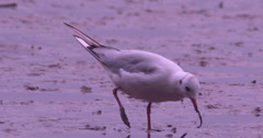 Black Headed Gull catchs four worms 2K 150fps Stock Footage