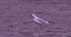 Gull walks on soft estuary sand 2K 150fps Stock Footage