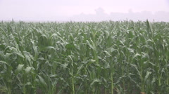 Corn crops on farm get rain after severe drought all summer Stock Footage