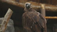 European Black Vulture (Aegypius Monachus Stock Footage