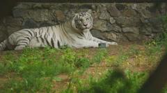 White tigress in ZOO Stock Footage