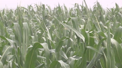 Rain falls on crop crop after severe summer drought Stock Footage