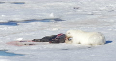 Polar bear feeding from seal corps at Spitsbergen Sea Stock Footage