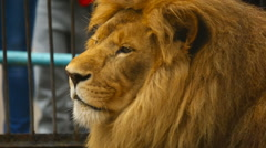 King of beasts at ZOO Stock Footage