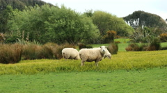 New Zealand Catlins sheep eating Stock Footage