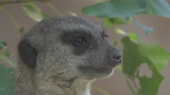 Meerkat close up Stock Footage