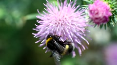 Big hairy bumble bee collects nectar from a flower Stock Footage