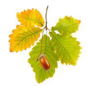 Acorns and oak leaves isolated on white background Stock Photos