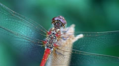 Dragonfly on a wooden peg in the garden Stock Footage