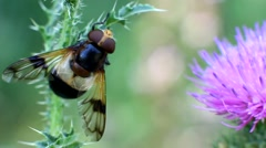 Floral Fly drinking nectar from flower Stock Footage