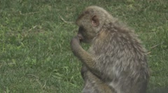 Macaque in the Wild Stock Footage
