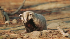 Badger in the forest Stock Footage