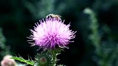 Wild bees collect nectar from flower Stock Footage