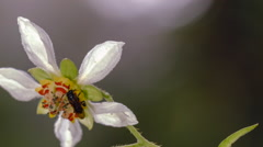 Flower of Nasa aequatoriana, family Loasaceae, with bee Stock Footage