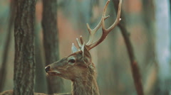 Deer in autumn forest. Russia Stock Footage