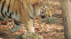 Amur tiger in the forest Stock Footage