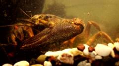 Crayfish  - astacus astacus - 4K Stock Footage