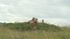 Cheetah (Acinonyx jubatus)  on hill top Stock Footage