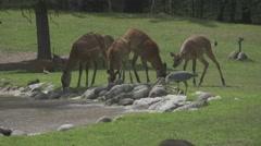 Herbivorous Animal in the Wild Stock Footage