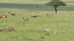 Thomson's Gazelle fawn in search for mother, High angle Stock Footage