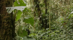 Tracking past  lush  green montane rainforest vegetation  - stock footage