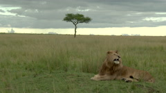 African Lion (Panthera leo) in savannah landscape, lock shot Stock Footage