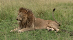 African Lion (Panthera leo) yawning, while lying down Stock Footage