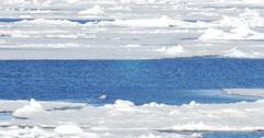 Polar bear swim in the sea ner ice at Spitsbergen Norway Stock Footage