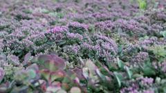 Urban flowerbed. Field. Background of flowers Stock Footage