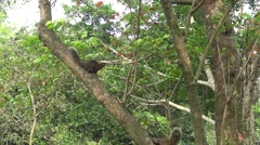4k, Pallas's squirrel running and play at the top of the tree in forest -Dan Stock Footage