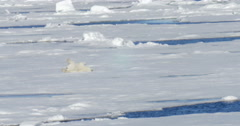 Polar bear crawling on ice Stock Footage