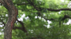 A bird Taiwan Barbet in the hole nest on the tree at Taiwan Daan Forest Park-Dan Stock Footage