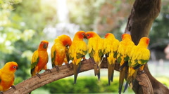 Group sun conure parrot on tree branch. Stock Footage