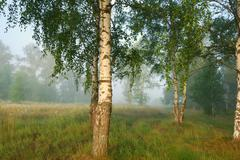 Foggy morning in birch forest Stock Photos