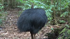 Cassowary male in the rainforest with chicks cleaning feathers zooming out Stock Footage