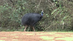 Southern Cassowary male with lawnchick walk on  in rainforest Stock Footage
