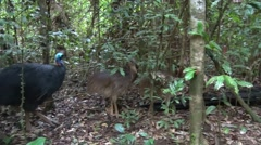 Southern Cassowary male with chicks walking in the rainforest early morning Stock Footage